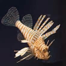 LionFish XL